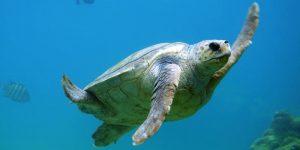 El cambio climático ha cambiado el género de 99.8% de tortugas marinas bebés