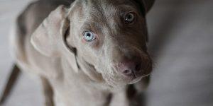 Ansiedad puede provocar en los perros la aparición de pelaje gris